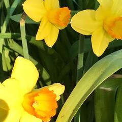 春の花/植え込みの花/花好き おはようございます☀  家の前の 街路樹…(3枚目)