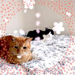 ペット/猫/動物/保護猫 妹の家のニャンズ🐱🐱💕 コロナで、子猫の…(1枚目)