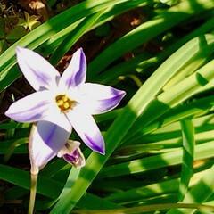 春の花/植え込みの花/花好き おはようございます☀  家の前の 街路樹…(2枚目)