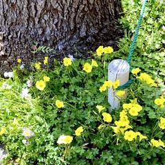 小さな花/道端の花/花 おはようございます🌞 4月1日 街路樹の…(1枚目)