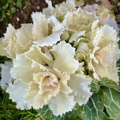 葉牡丹/花/公園にて 朝からクシャミが止まらない😷 花粉症だ!…(7枚目)