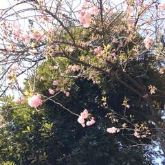 八重桜/桜/春 風が強いけど青空 コロナがなければ気持ち…