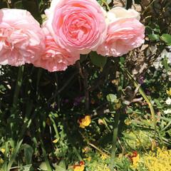 花/癒し/暮らし 帰り道 教会の庭の花 癒されました。