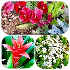 花/花が好き/春の花/近所に咲く花/花は和み 良いお天気ですネ☀️ 太陽の下で綺麗に咲…(1枚目)