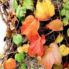紅葉/蔦の葉/自然/秋色 蔦の葉 自然の色、綺麗ですね🍁🍂 ウット…