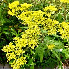 花/花のある暮らし/癒し/夏の花 おはようございます☀  今日の花 黄色も…