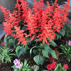 花/植物/グリーン/真っ赤な花/サルビア/秋の花 朝、綺麗な空だったのに、 やはり、お天気…