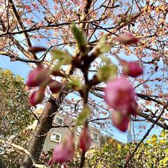 春/近所にて/桜 暖かくて、近所の桜の 蕾が膨らんできまし…(2枚目)