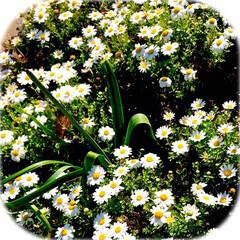 春の花/植え込みの花/花好き おはようございます☀  家の前の 街路樹…(5枚目)