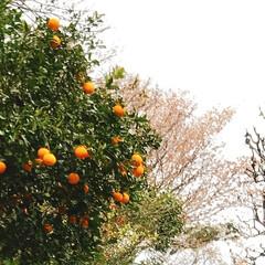 ミカンと桜のコラボ/春の花/LIMIAFESTA/暮らし 天気が崩れる予報 スーパーは空の棚が目立…