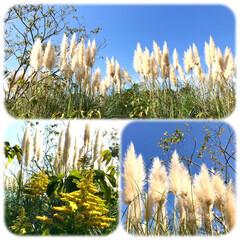 海の中道海浜公園/お出かけ/西洋ススキ/秋晴れ 遠くから見たら ススキのような? 近くに…