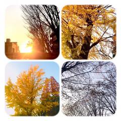 銀杏/夕陽/夕暮れ/風景 銀杏と、夕陽の風景。