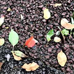落ち葉/秋/紅葉/暮らし/散歩 足元に 小さい秋見つけた😊🍂🍁