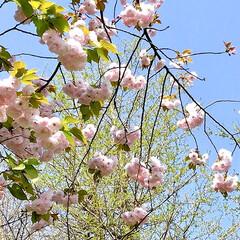 八重桜/桜/春爛漫 さくら情報も飽きて来たけど(笑) 駅まで…(2枚目)