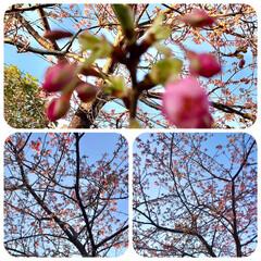 春/近所にて/桜 暖かくて、近所の桜の 蕾が膨らんできまし…(1枚目)