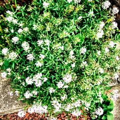 花のある暮らし/雨に濡れたはなあ/花/暮らし/癒し 家の前にある花 雨に濡れて、緑が綺麗。