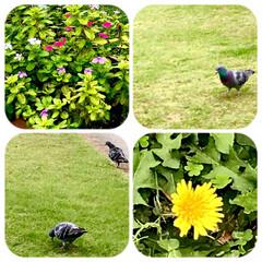 グリーン/花/鳩/たんぽぽ/植え込みの緑/和み 今日は、どんより天気。  昨日の、買い物…