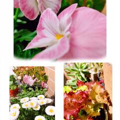 花/ベランダガーデニング/ガーデニング/花のある暮らし/ガーデン雑貨/ガーデニング雑貨/... 暖かくて、ベランダが 一年で1番にぎやか…(1枚目)