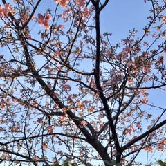 春/近所にて/桜 暖かくて、近所の桜の 蕾が膨らんできまし…(3枚目)