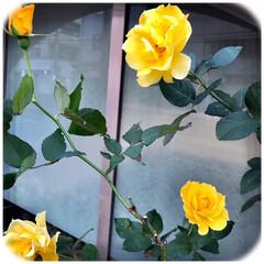 花/薔薇/通り道/暮らし/癒し 近所の教会に 咲いていた黄色薔薇、  い…