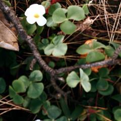 雑草/草むらの中の花/寒さにも負けない花/植物/花/癒し 枯れた草むらの中から 小さな可愛いらしい…(2枚目)