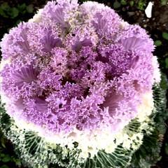 葉牡丹/花/公園にて 朝からクシャミが止まらない😷 花粉症だ!…(5枚目)