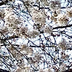 桜/ユキヤナギ/ウォーキング/春/暮らし 桜とユキヤナギ🌸 桜の種類によって 満開…(2枚目)