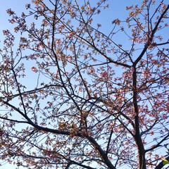 春/近所にて/桜 暖かくて、近所の桜の 蕾が膨らんできまし…(4枚目)