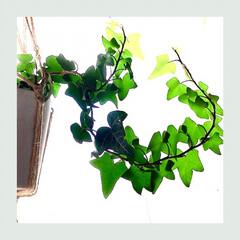 グリーン/グリーンのある暮らし/窓辺/暮らし/癒し 窓辺に下げてる アイビーさん、下に伸びて…
