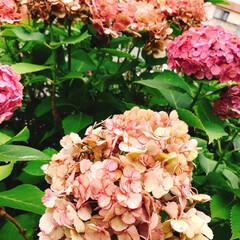 紫陽花/花/咲き終わりの紫陽花 前にフォトした紫陽花 天気が、晴れたり曇…