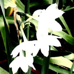 水仙/花/植え込みの水仙/いつもの路で 植え込みの中に 白い水仙が咲いてましたが…