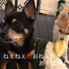 チワワ/姉妹/多頭飼い