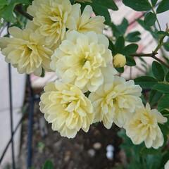 オベリスク/モッコウバラ/フォロー大歓迎/我が家の庭の花/暮らし 昨年、植えたモッコウバラ🌱  オベリスク…(1枚目)