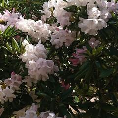 ブーケ/わが家の庭の花/フォロー大歓迎/暮らし/シャクナゲ 少し前の写真になりますが…   我が家の…(3枚目)