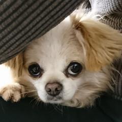 モノクロ写真/甘えん坊の犬/我が家のペット/フォロー大歓迎 パパのお膝から、こんにちは(U´・ェ・)…(2枚目)