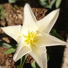 フォロー大歓迎/チューリップ/わが家の庭の花/暮らし 今日も、チューリップを上から激写🌷  チ…(2枚目)
