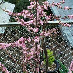 春の花/花木/季節の花/癒しの場所/癒しの空間/花のある生活/... 昨年植えた  春を感じる🌸ஐ೨🌸  サク…(1枚目)