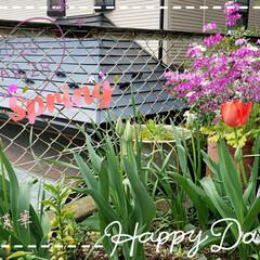 チューリップ/心のゆとり/心の癒し/花のある暮し/お花大好き/ガーデニング/... 今日も素敵な一日になりますように(♥Ü♥…