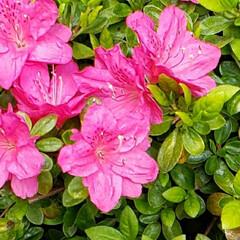 地植え/庭の花/お花大好き/ツツジ/我が家の庭の花/花のある生活/... あちこちの 桜は 散り始めてきちゃってる…(2枚目)