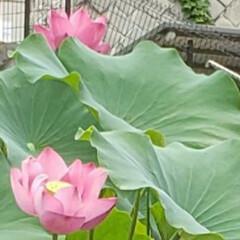 蓮の花/フォロー大歓迎/ガーデニング/花 今日も素敵な一日になりますように(♥Ü♥…(8枚目)