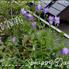 お日様の光/キキョウ/桔梗/庭の花たち/我が家の庭の花/癒しの場所/... 今日も素敵な一日になりますように(♥Ü♥…