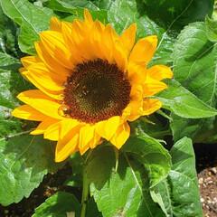 お花大好き/癒しの空間/ガーデニング/鉢植え/ひまわり/季節の花/... オクラの苗と一緒に購入した 我が家の新顔…(2枚目)