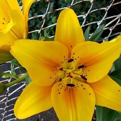 我が家の庭の花/癒しの空間/ユリ/ガーデニング/花のある生活/お花大好き/... ユリは 雨でやられてしまうかも…😟 と……(2枚目)