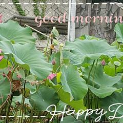 蓮の花/フォロー大歓迎/ガーデニング/花 今日も素敵な一日になりますように(♥Ü♥…