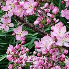 春の花/花木/季節の花/癒しの場所/癒しの空間/花のある生活/... 昨年植えた  春を感じる🌸ஐ೨🌸  サク…(3枚目)