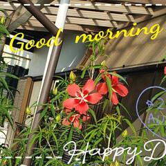 癒しの空間/癒しの場所/モミジアオイ/花大好き/ガーデニング/地植え/... 今日も素敵な一日になりますように(♥Ü♥…