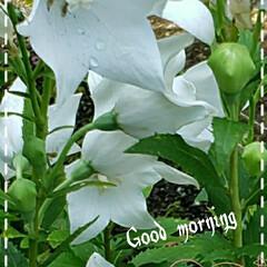 キキョウ/お出かけ/花のある生活/花のある暮らし/リミアな生活/リミアな暮らし/... 今日も素敵な一日になりますように(♥Ü♥…