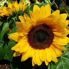 お花大好き/癒しの空間/ガーデニング/鉢植え/ひまわり/季節の花/... オクラの苗と一緒に購入した 我が家の新顔…(3枚目)