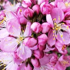 春の花/花木/季節の花/癒しの場所/癒しの空間/花のある生活/... 昨年植えた  春を感じる🌸ஐ೨🌸  サク…(4枚目)