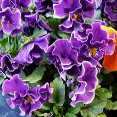 元気の源/鉢植え/庭の花たち/癒しの場所/癒しの空間/お花大好き/... 今日は 雨;(´•௰•`)☂  雨風強く…(4枚目)
